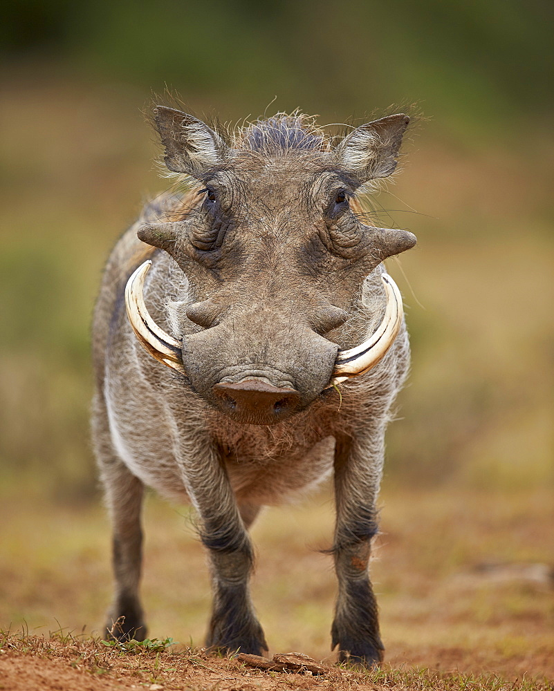 Warthog (Phacochoerus aethiopicus), male, Addo Elephant National Park, South Africa, Africa