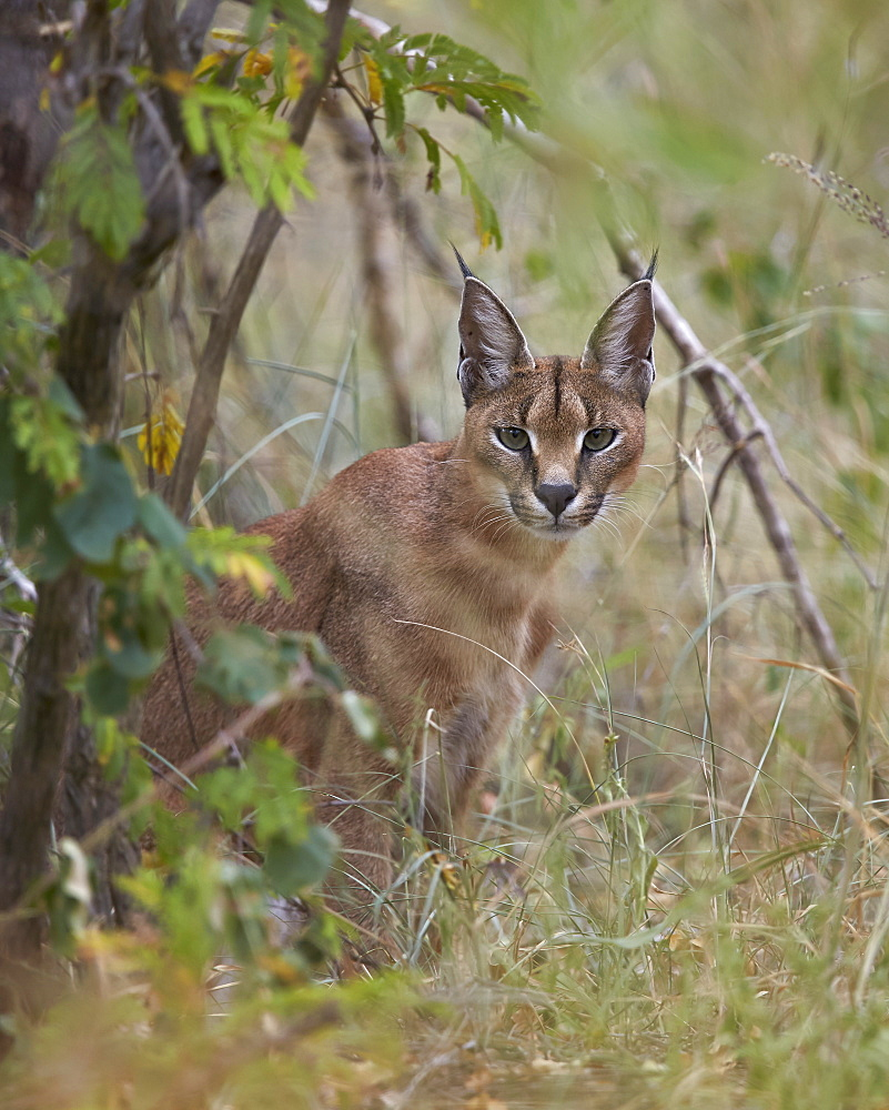 Caracal (Caracal caracal), Kruger National Park, South Africa, Africa
