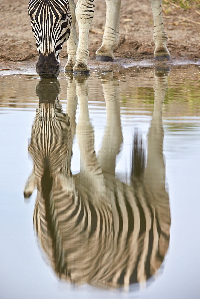Common zebra (plains zebra) (Burchell's zebra) (Equus burchelli) reflection, Kruger National Park, South Africa, Africa