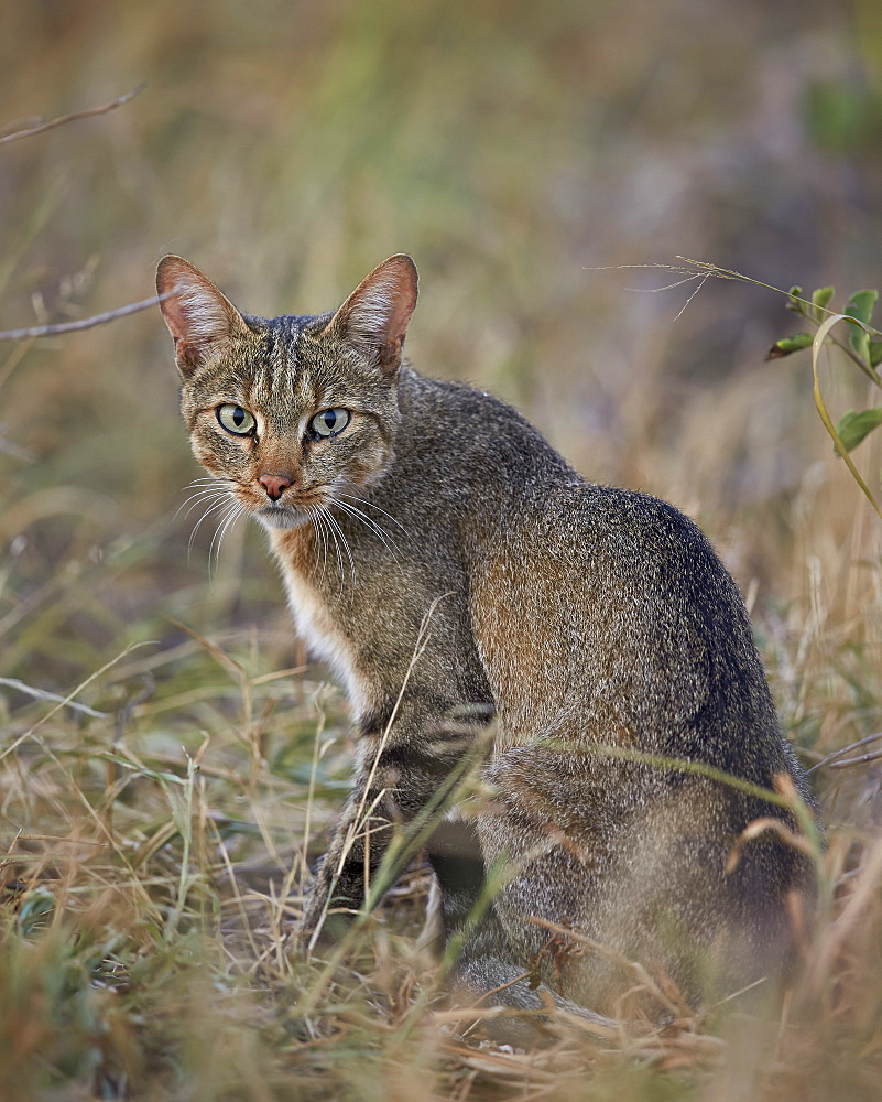 African wild cat (Felis silvestris lybica), Kruger National Park, South Africa, Africa