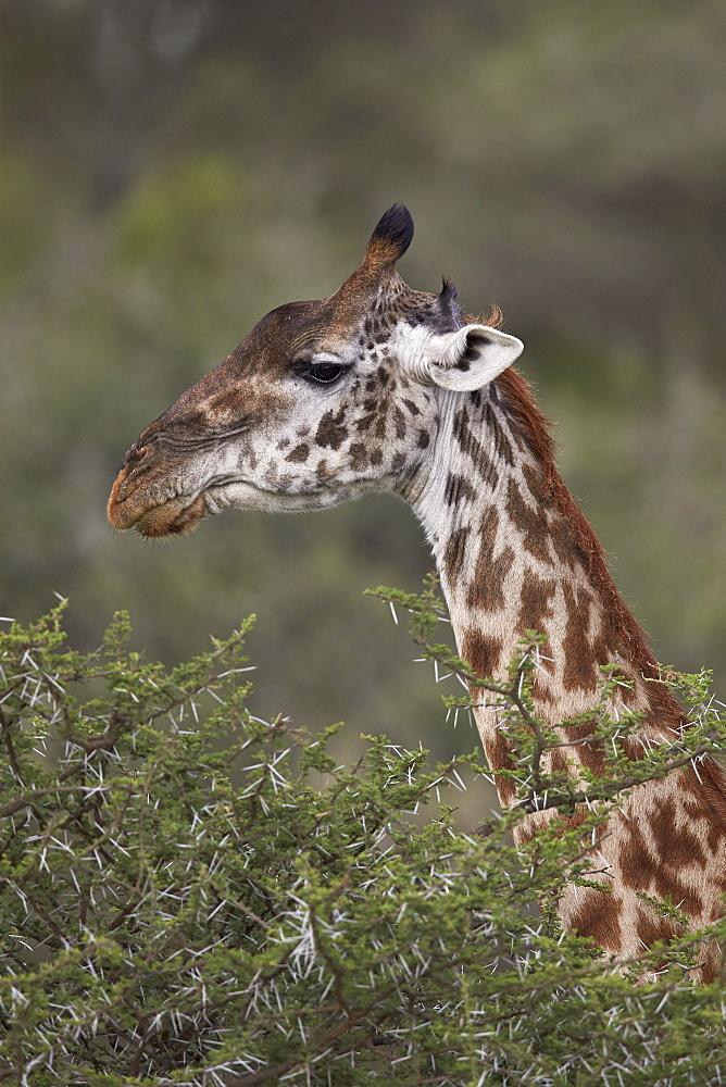 Masai giraffe (Giraffa camelopardalis tippelskirchi), Ngorongoro Conservation Area, UNESCO World Heritage Site, Serengeti, Tanzania, East Africa, Africa
