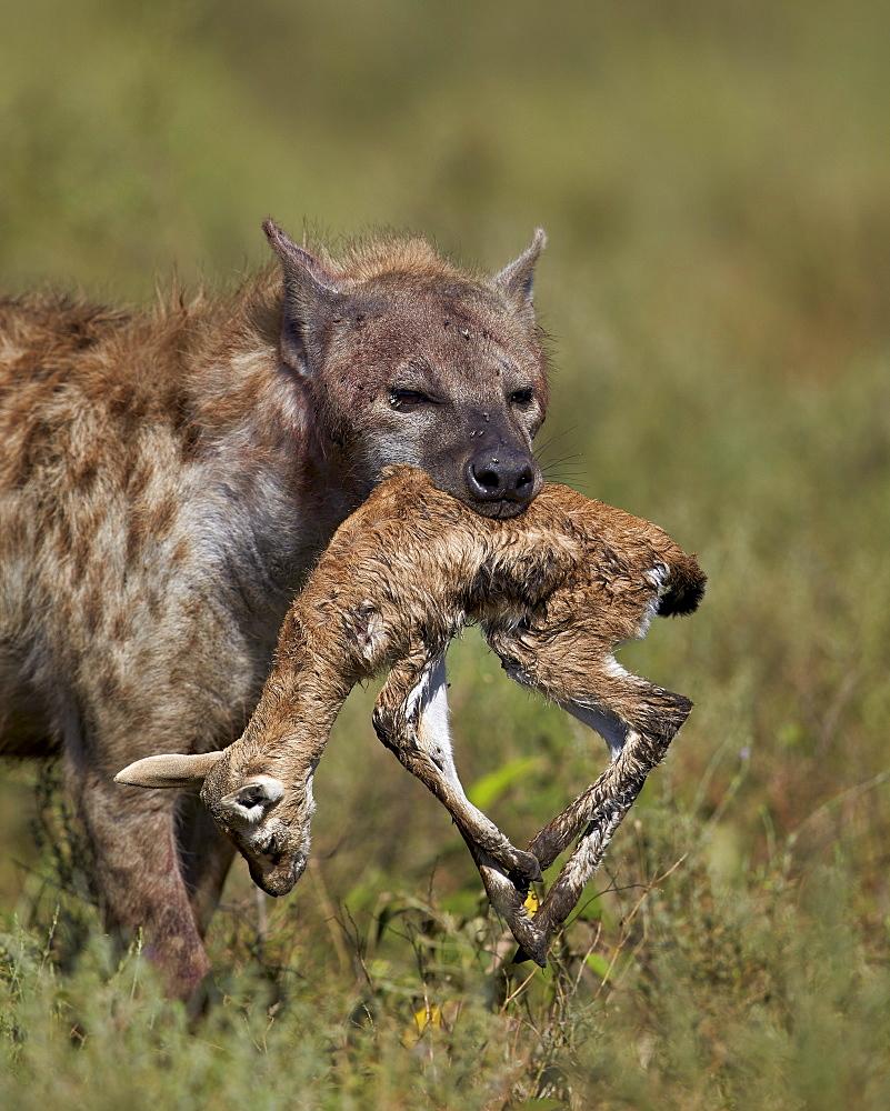 Spotted hyena (spotted hyaena) (Crocuta crocuta) with a baby Thomson's gazelle (Gazella thomsonii), Ngorongoro Conservation Area, UNESCO World Heritage Site, Serengeti, Tanzania, East Africa, Africa