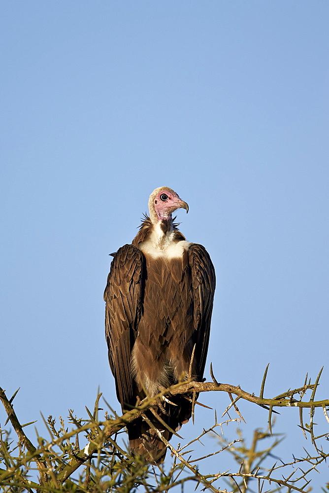 Hooded vulture (Necrosyrtes monachus), Ngorongoro Conservation Area, UNESCO World Heritage Site, Serengeti, Tanzania, East Africa, Africa