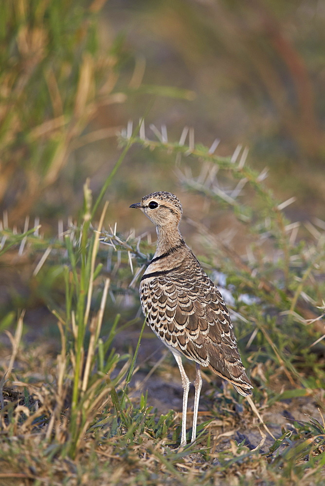 Two-banded courser (double-banded courser) (Rhinoptilus africanus), Ngorongoro Conservation Area, UNESCO World Heritage Site, Serengeti, Tanzania, East Africa, Africa