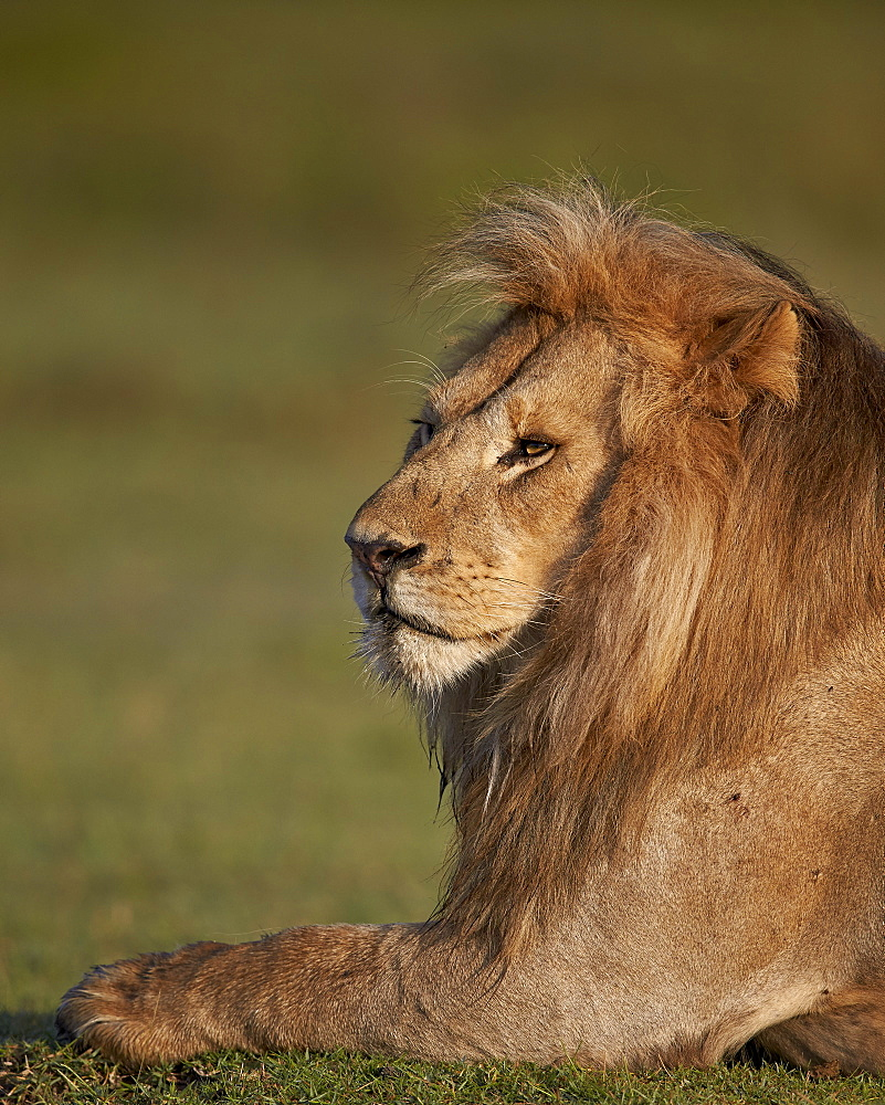 Lion (Panthera leo), Ngorongoro Conservation Area, UNESCO World Heritage Site, Serengeti, Tanzania, East Africa, Africa