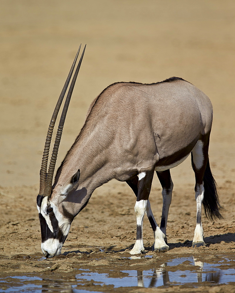 Gemsbok (South African oryx) (Oryx gazella) drinking, Kgalagadi Transfrontier Park encompassing the former Kalahari Gemsbok National Park, South Africa, Africa