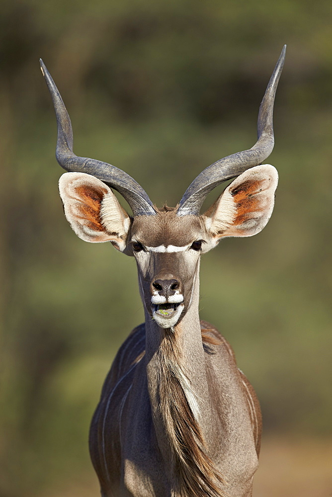 Greater kudu (Tragelaphus strepsiceros) buck with his mouth open, Kgalagadi Transfrontier Park encompassing the former Kalahari Gemsbok National Park, South Africa, Africa
