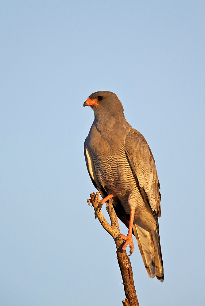 Southernpale chanting goshawk (Melierax canorus), Kgalagadi Transfrontier Park encompassing the former Kalahari Gemsbok National Park, South Africa, Africa