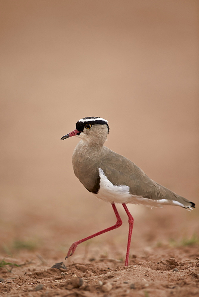 Crowned plover (crowned lapwing) (Vanellus coronatus), Kgalagadi Transfrontier Park encompassing the former Kalahari Gemsbok National Park, South Africa, Africa