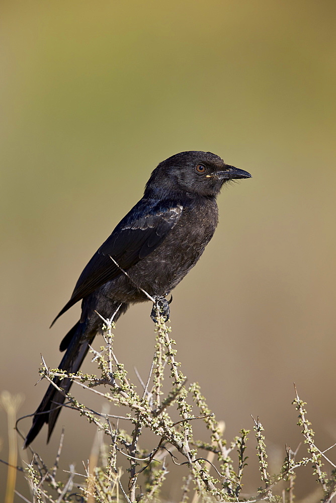 Fork-tailed drongo (Dicrurus adsimilis), Kgalagadi Transfrontier Park encompassing the former Kalahari Gemsbok National Park, South Africa, Africa