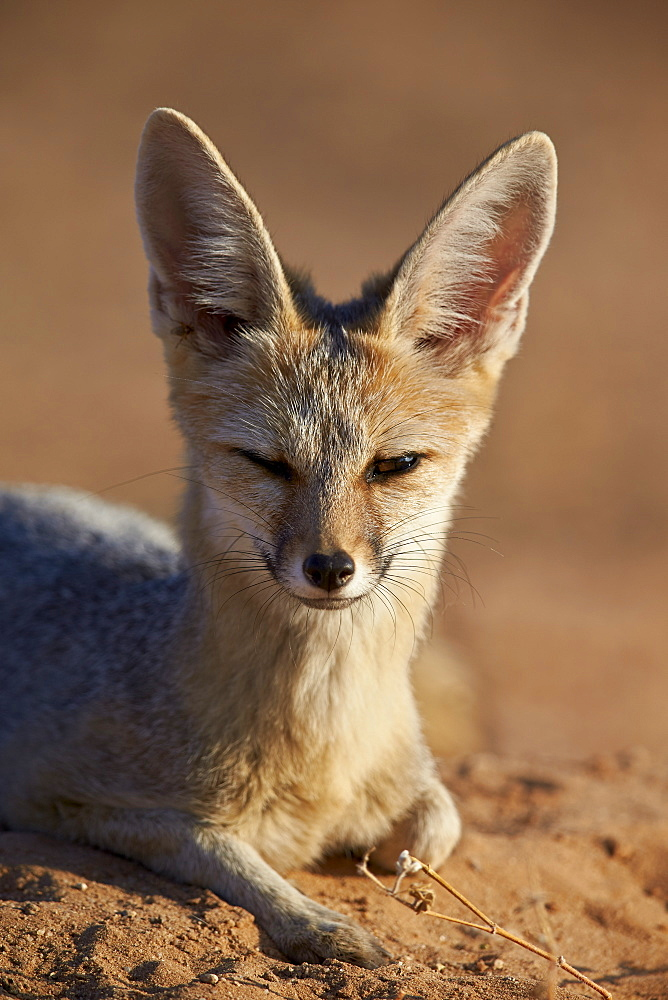 Cape fox (Cama fox) (silver-backed fox) (Vulpes chama), Kgalagadi Transfrontier Park, encompassing the former Kalahari Gemsbok National Park, South Africa, Africa
