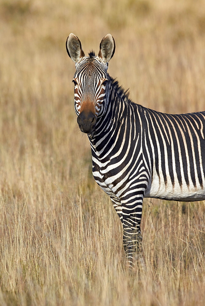 Cape mountain zebra (Equus zebra zebra), Mountain Zebra National Park, South Africa, Africa