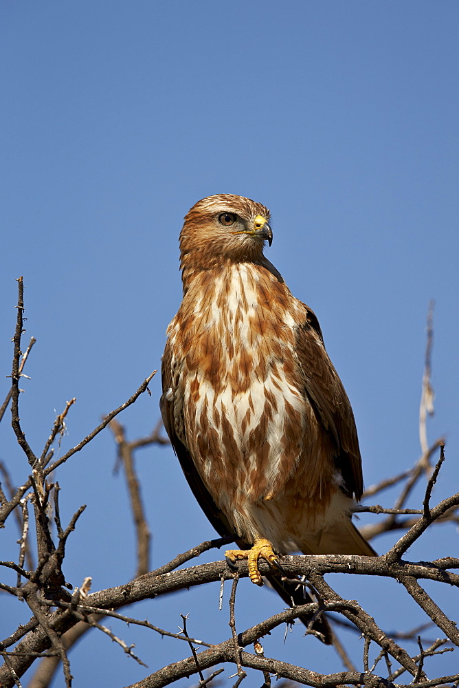 Steppe buzzard (common buzzard) (Buteo vulpinus) (Buteo buteo vulpinus), Mountain Zebra National Park, South Africa, Africa