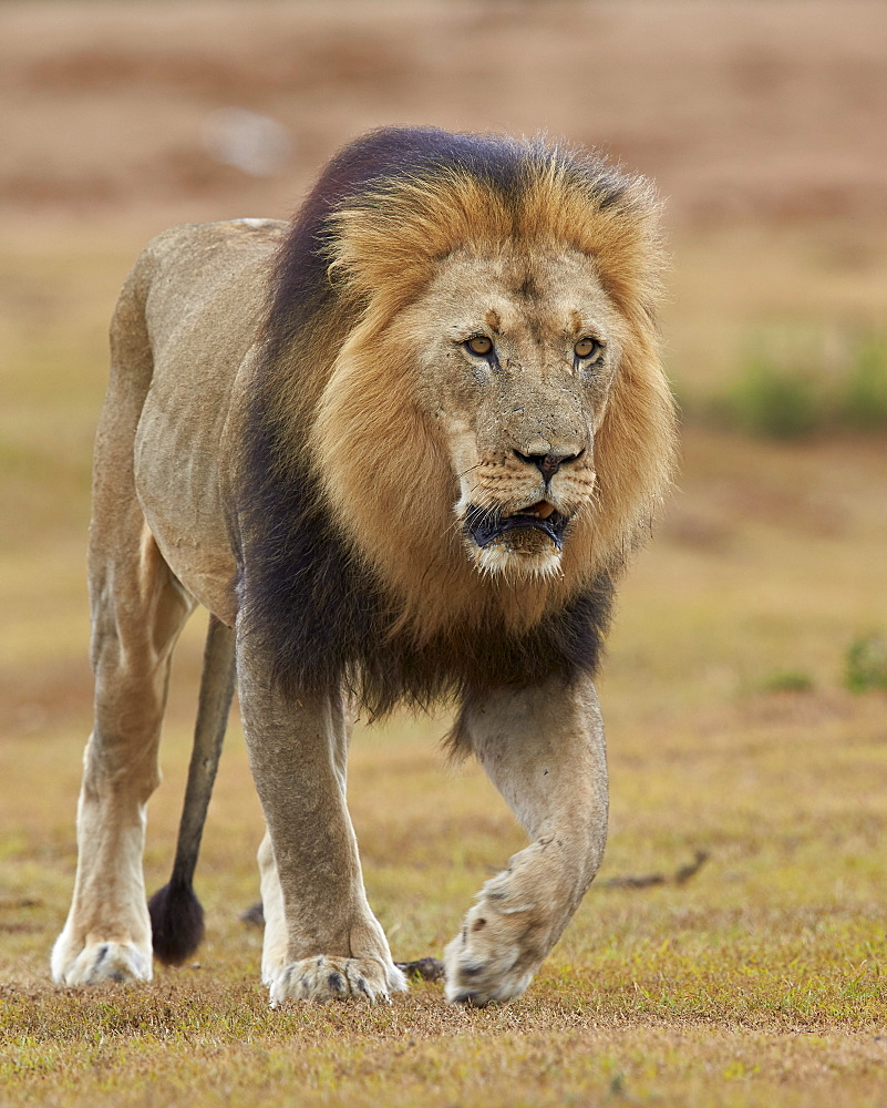 Lion (Panthera leo), Addo Elephant National Park, South Africa, Africa