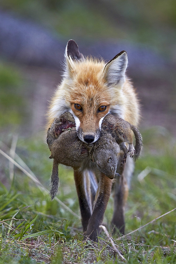 Red fox (Vulpes vulpes) (Vulpes fulva) carrying Uinta ground squirrel (Urocitellus armatus) prey, Yellowstone National Park, Wyoming, United States of America, North America