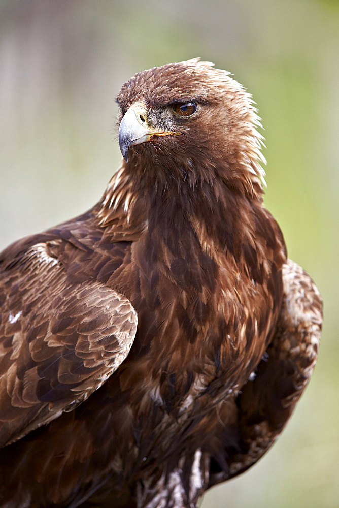 Golden eagle (Aquila chrysaetos), Yellowstone National Park, Wyoming, United States of America, North America