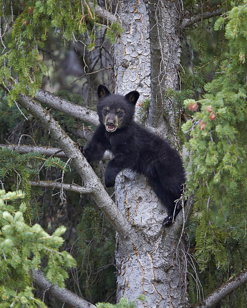 Black bear (Ursus americanus) cub of the year in a tree, Yellowstone National Park, Wyoming, United States of America, North America