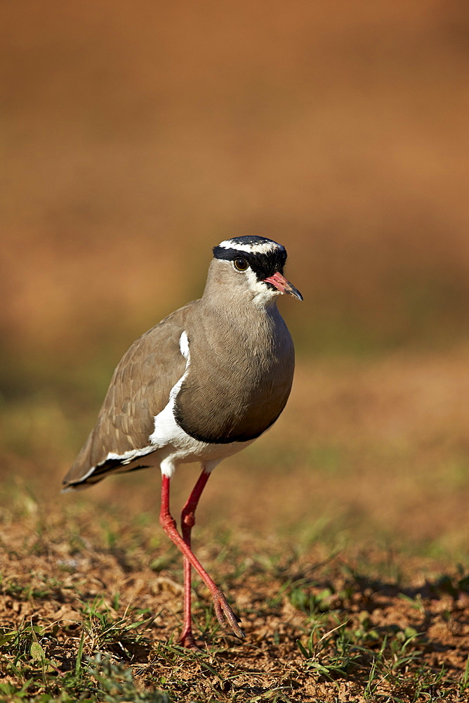 Crowned plover (crowned lapwing) (Vanellus coronatus), Addo Elephant National Park, South Africa, Africa