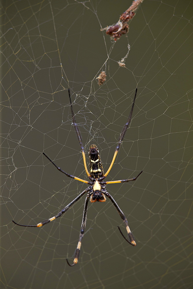 Banded-legged golden orb spider (Nephila senegalensis), female, Kruger National Park, South Africa, Africa