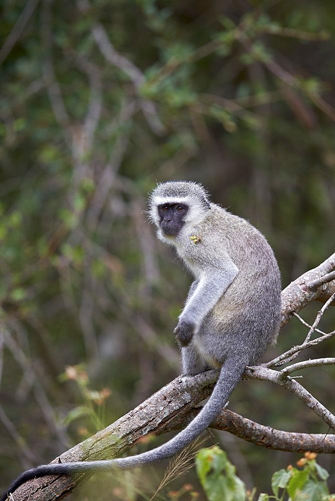 Vervet monkey (Chlorocebus aethiops), Kruger National Park, South Africa, Africa