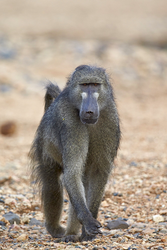 Chacma baboon (Papio ursinus), Kruger National Park, South Africa, Africa