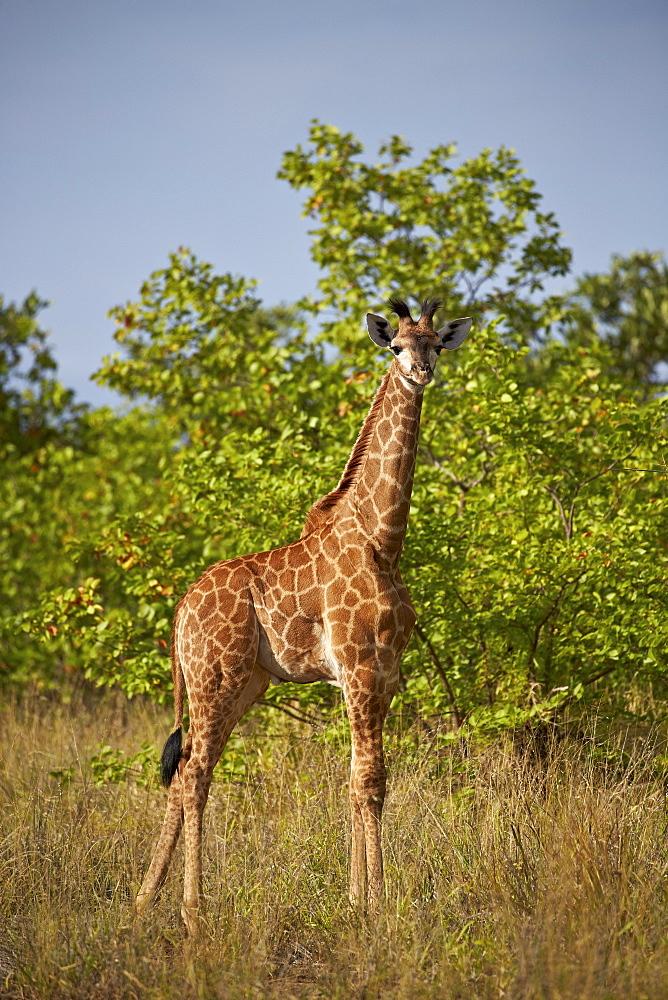 Juvenile Cape giraffe (Giraffa camelopardalis giraffa), Kruger National Park, South Africa, Africa