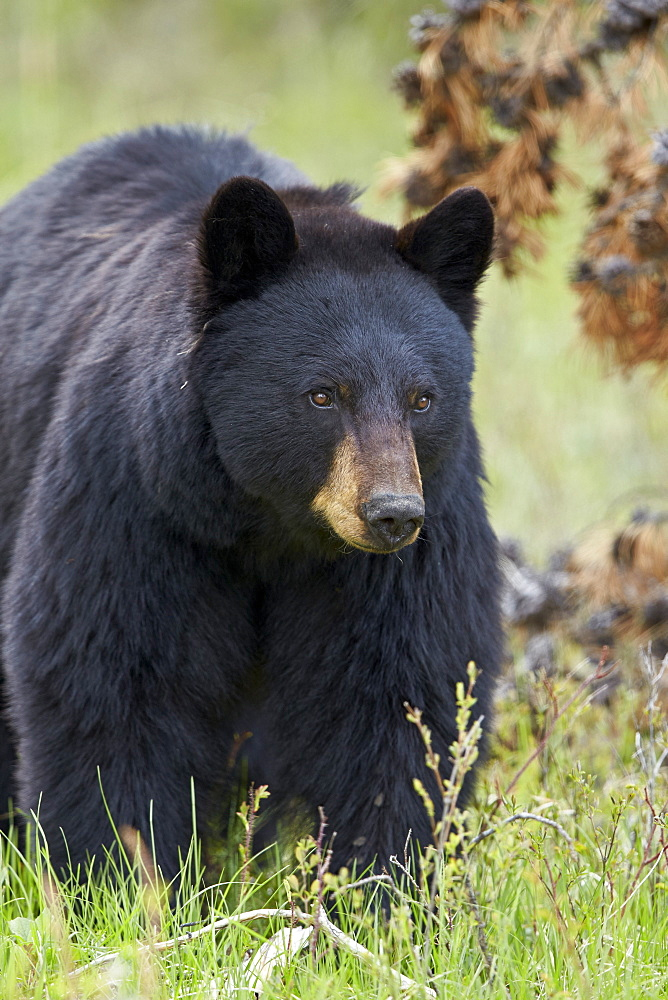 Black bear (Ursus americanus), Yellowstone National Park, Wyoming, United States of America, North America