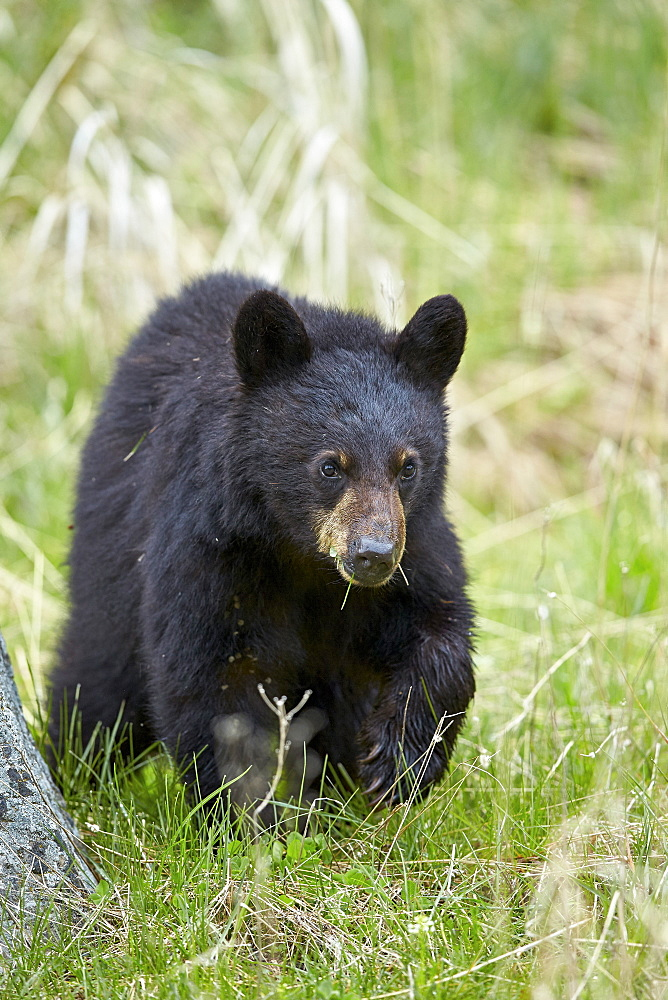 Black bear (Ursus americanus), second year cub, Yellowstone National Park, Wyoming, United States of America, North America