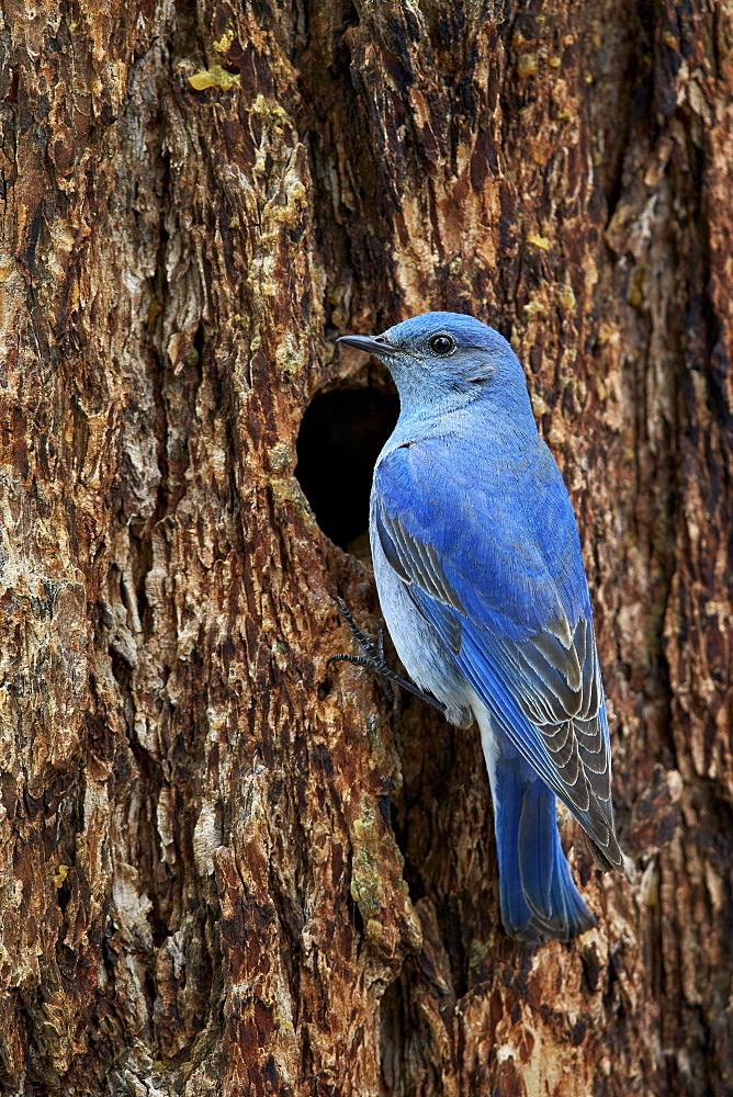 Mountain bluebird (Sialia currucoides), male at nest cavity, Yellowstone National Park, Wyoming, United States of America, North America