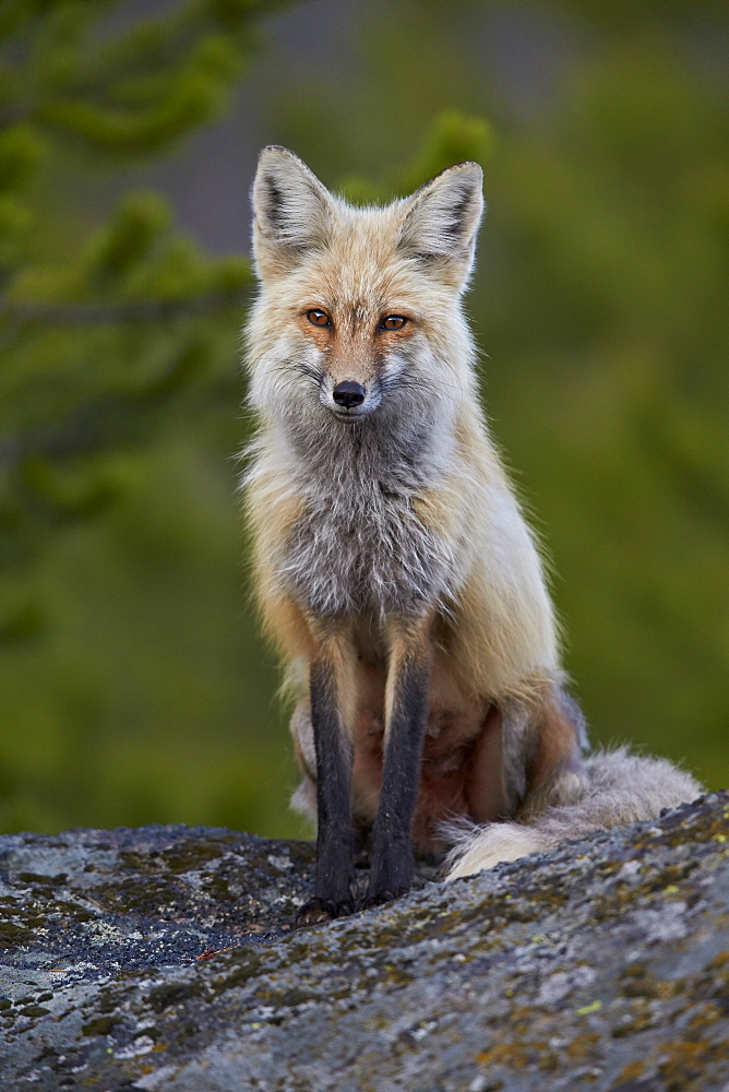 Red Fox (Vulpes vulpes or Vulpes fulva), Yellowstone National Park, Wyoming, United States of America, North America