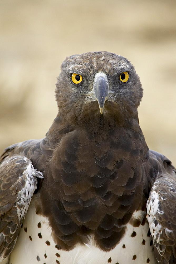 Martial eagle (Polemaetus bellicosus), Kgalagadi Transfrontier Park, encompassing the former Kalahari Gemsbok National Park, South Africa, Africa - 764-545