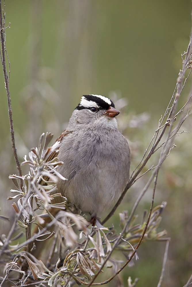 White-Crowned Sparrow (Zonotrichia leucophrys), Yellowstone National Park, Wyoming, United States of America, North America