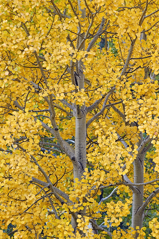 Yellow aspen in the fall, Uncompahgre National Forest, Colorado, United States of America, North America