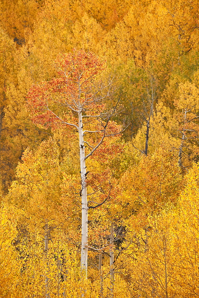 Yellow and orange aspen in the fall, Uncompahgre National Forest, Colorado, United States of America, North America