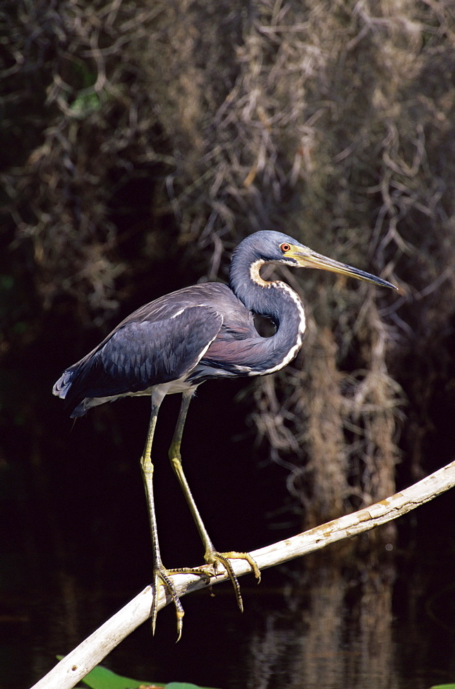 Louisiana heron (Hydranassa tricolor), Everglades National Park, Florida, United States of America, North America - 764-72