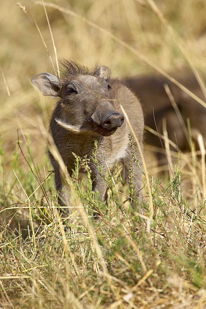 Baby warthog (Phacochoerus aethiopicus), Masai Mara National Reserve, Kenya, East Africa, Africa