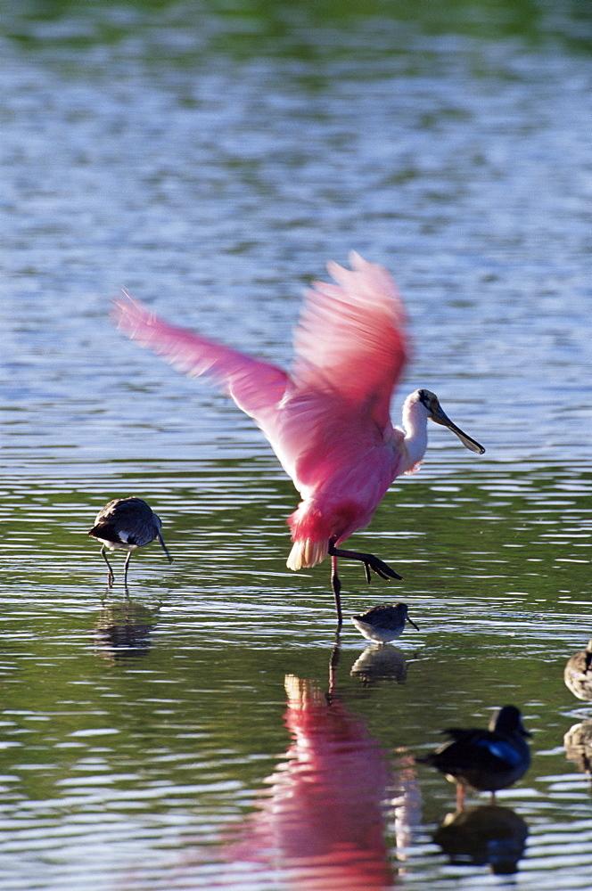 "Roseate spoonbill (Ajaia ajaja), J. N. ""Ding"" Darling National Wildlife Refuge, Florida, United States of America, North America"