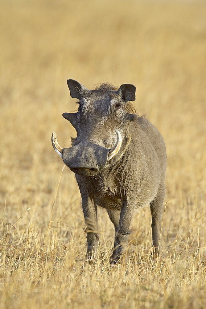 Warthog (Phacochoerus aethiopicus), Masai Mara National Reserve, Kenya, East Africa, Africa