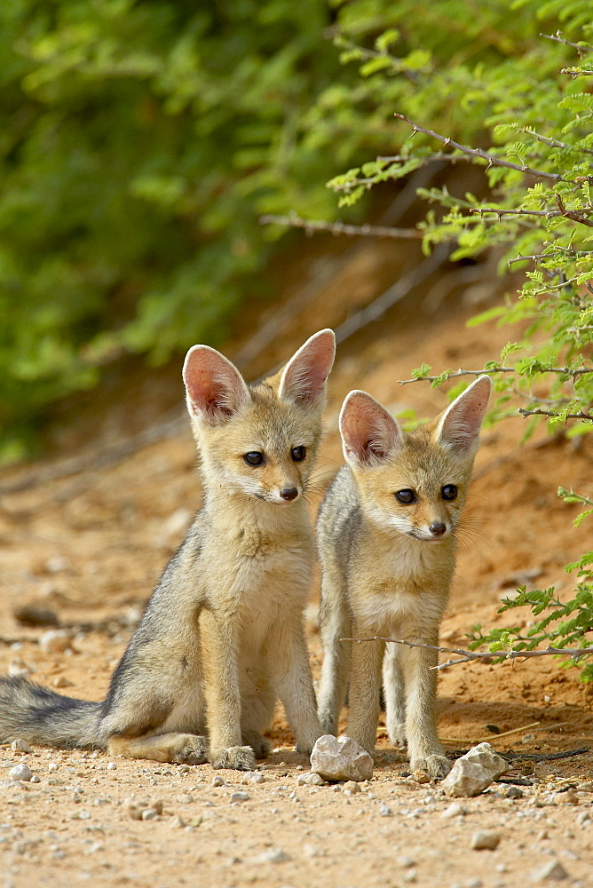 Two Cape fox (Vulpes chama) kits, Kgalagadi Transfrontier Park, encompassing the former Kalahari Gemsbok National Park, South Africa, Africa - 764-854