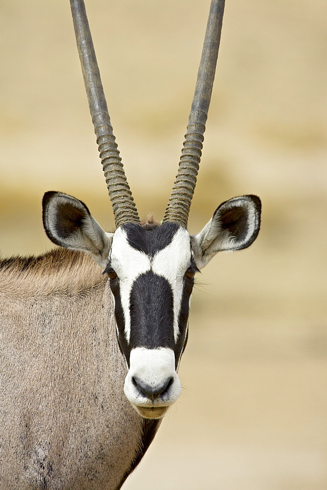Gemsbok or South African oryx (Oryx gazella), Kgalagadi Transfrontier Park, encompassing the former Kalahari Gemsbok National Park, South Africa, Africa - 764-855