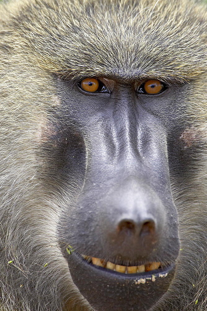 Olive baboon (Papio cynocephalus anubis), Serengeti National Park, Tanzania, East Africa, Africa - 764-906