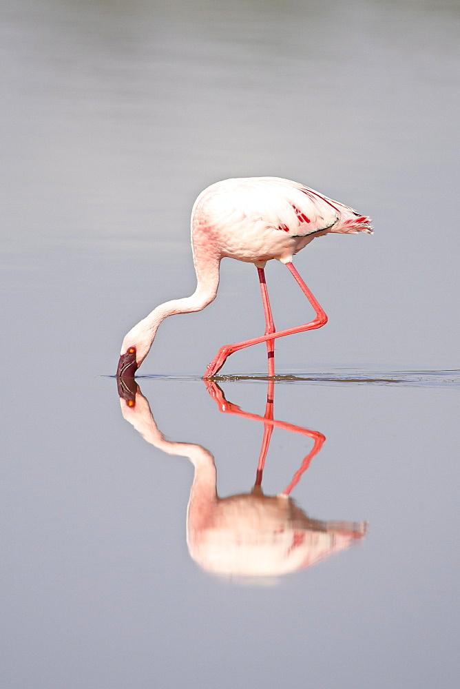 Lesser flamingo (Phoeniconaias minor) and reflection, Lake Ndutu, Serengeti National Park, Tanzania, East Africa, Africa