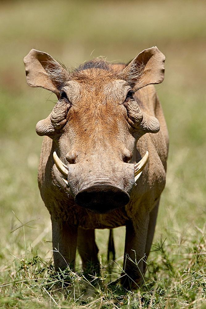 Warthog (Phacochoerus aethiopicus), Samburu National Reserve, Kenya, East Africa, Africa - 764-938
