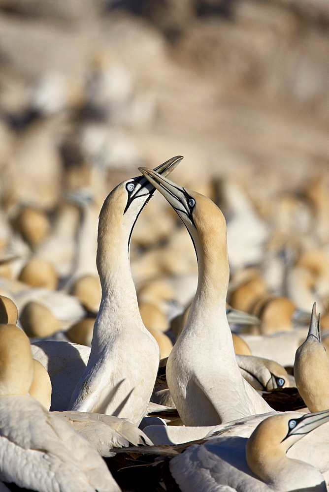 Cape gannet (Morus capensis) pair necking, Bird Island, Lambert's Bay, South Africa, Africa - 764-973
