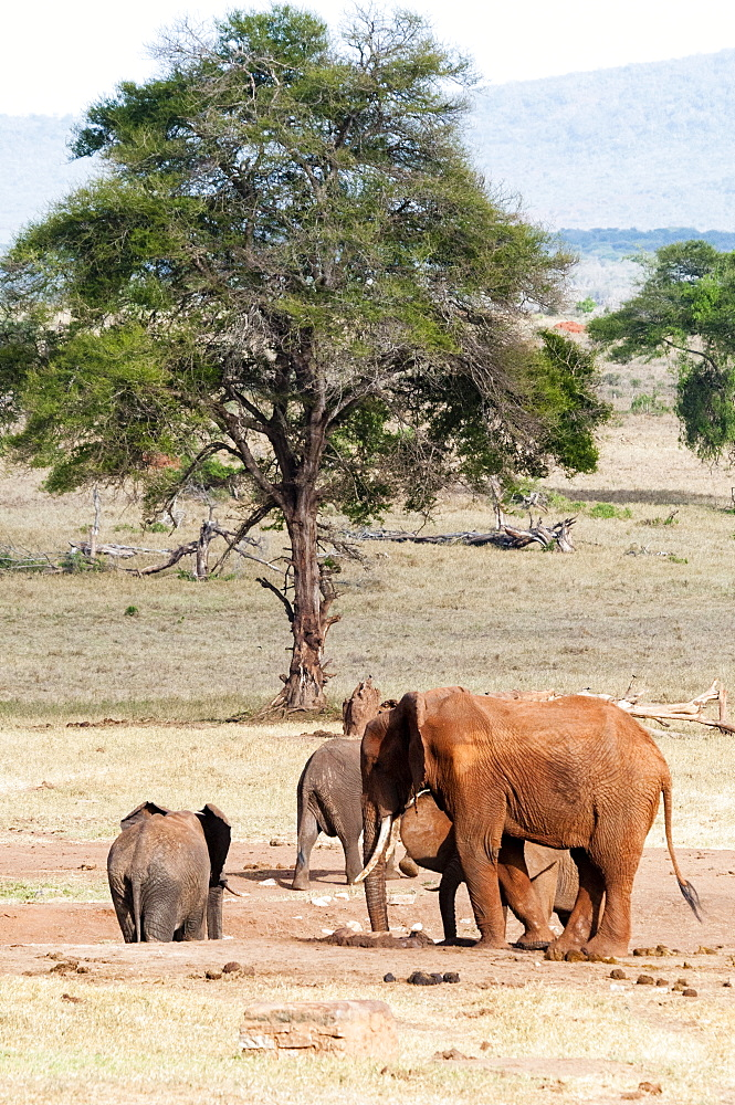 Elephants (Loxodonta africana), Taita Hills Wildlife Sanctuary, Kenya, East Africa
