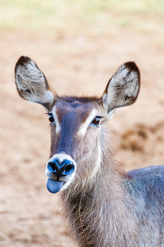 Female waterbuck (Kobus ellipsiprymnus) with snare around the neck, Taita Hills Wildlife Sanctuary, Kenya, East Africa