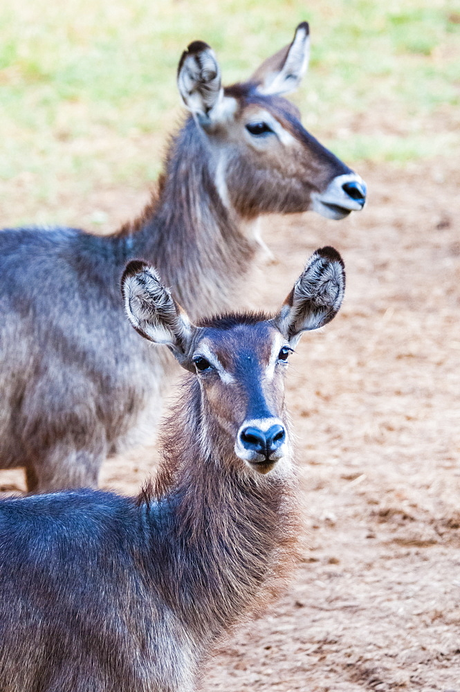 Two female waterbuck (Kobus ellipsiprymnus), Taita Hills Wildlife Sanctuary, Kenya, East Africa