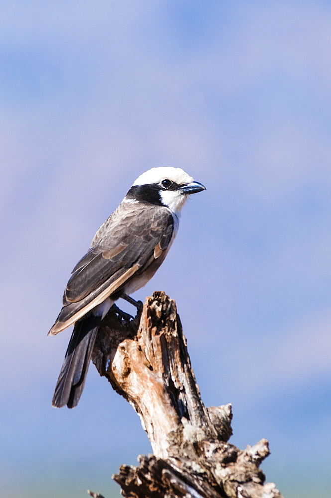 Gray-backed Fiscal (Lanius excubitoroides), Taita Hills Wildlife Sanctuary, Kenya, East Africa, Africa