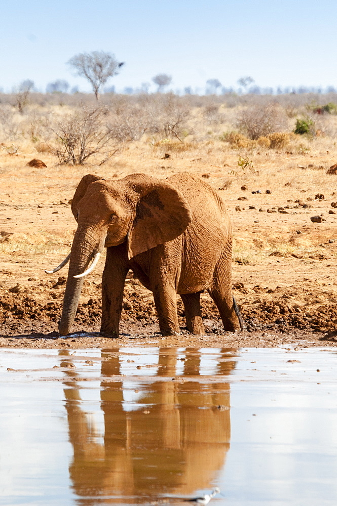 Female Elephant (Loxodonta africana), at waterhole, Tsavo East National Park, Kenya, East Africa