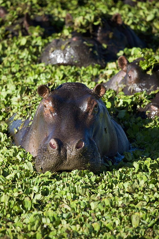 Hippopotamus (Hippopotamus amphibius), Masai Mara National Reserve, Kenya, East Africa, Africa